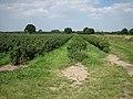 A healthy crop of blackcurrants - geograph.org.uk - 524970.jpg