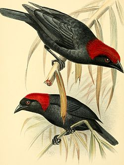 A monograph of the weaver-birds, Ploceidae, and arboreal and terrestrial finches, Fringillidae (1888) (14750241712).jpg