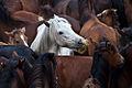 A rapa das bestas de Sabucedo - El caballo blanco.jpg