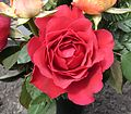 A red rose be.jpg