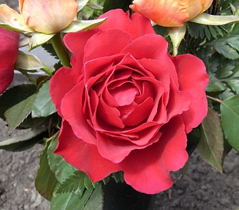 English: red rose Deutsch: Rote Rose