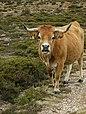 A vaca - panoramio.jpg