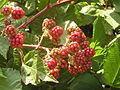 Ab plant 1362.jpg