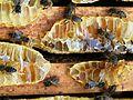 Abeilles et ruches 13.JPG