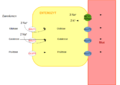 Absorption der Monosaccharide im Dünndarm.png