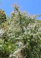 Acacia dealbata kz03.jpg