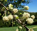 Acacia gerrardii, bloeiwyses, Walter Sisulu NBT.jpg