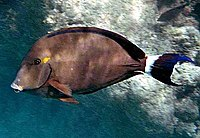 Acanthurus blochii by NPS