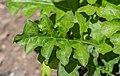 Acanthus hungaricus in Jardin des 5 sens (2).jpg