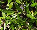Acanthus ilicifolius foliage and flower.jpg