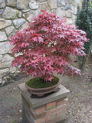 Red cultivar of A. palmatum used for bonsai