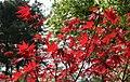 Acer palmatum 'Oshio beni' - JPG3.jpg