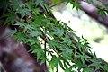 Acer palmatum in Eastwoodhill Arboretum (4).jpg