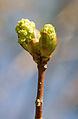 Acer platanoides spring 9.jpg
