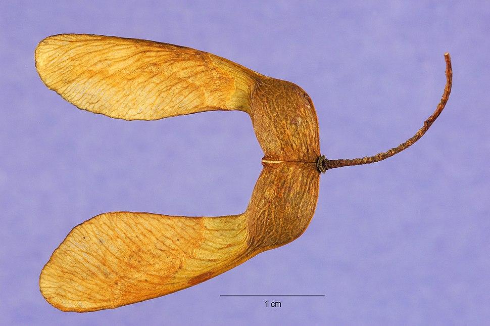 Acer saccharum seeds