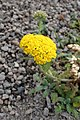 Achillea tomentosa 'Golden Fleece' kz1.jpg