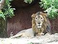 Aciatic Lion.jpg