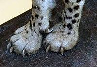 Voorpoten van een cheetah met stompe klauwen en de scherpe, gebogen wolfsklauw