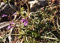 Acinos alpinus04.jpg