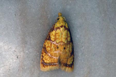 Acleris bergmanniana, Lodz(Poland)01(js).jpg