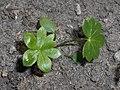 Aconitum napellus 2018-05-22 2607.jpg