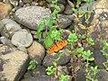 Acraea terpsicore Linnaeus, 1758 – Tawny Coster at Peravoor 2017 (2).jpg