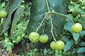 Acronychia pedunculata 05.JPG