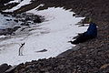 Adelie penguin and human.jpg