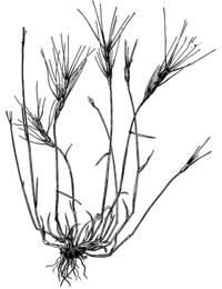 Aegilops triuncialis HC-1950-p