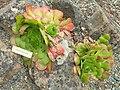 Aeonium glandulosum - University of California Botanical Garden - DSC08946.JPG