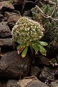 Aeonium urbicum - Macizo de Teno 02.jpg