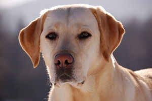 Labrador Retriever - The head of a Labrador should be broad with a pronounced stop.