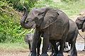 African Elephants (Loxodonta africana) (17143591708).jpg