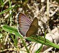 African Grass Blue, Zizeeria knysna. male - Flickr - gailhampshire.jpg