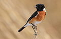 African Stonechat, Saxicola torquatus at Rietvlei Nature Reserve, South Africa (10055144006).jpg