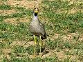 African Wattled Lapwing (Vanellus senegallus) (18234598275).jpg