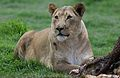African lion, Panthera leo at Krugersdorp Game Park, South Africa (31157058832).jpg