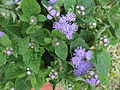 Ageratum houstonianum-hybrids-yercaud-salem-India.JPG