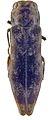 Agrilus auroapicalis holotype - ZooKeys-256-035-g004-46.jpeg