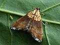 Agrotera nemoralis - Beautiful pearl - Огнёвка грабовая (40836220521).jpg