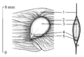 Ailanthus seed drawing.png