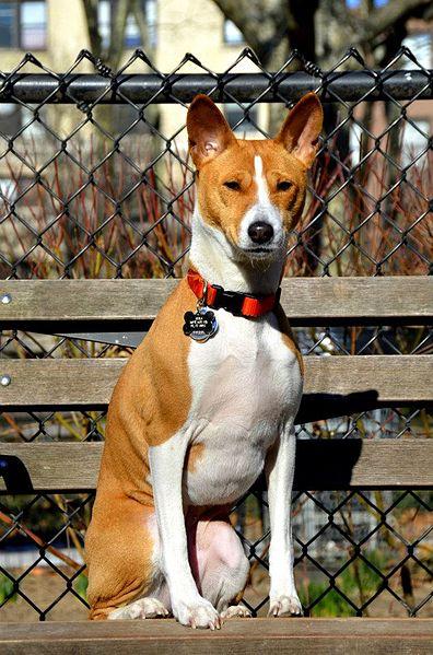 |Basenji es también conocido como perro del Congo