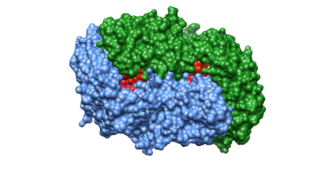 Alanine racemase - Figure 2. Surface Diagram of Alanine Racemase. The two monomers are colored in blue and green. The two reaction sites are colored in red.