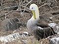 Albatross birds - Espanola - Hood - Galapagos Islands - Ecuador (4871062123).jpg