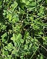 Alchemilla monticola plant (02).jpg