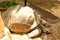 Aldabra giant tortoise.JPG