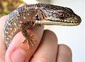 Alligator lizard with ticks (448459612).jpg