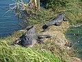 Alligators sunning themselves at Se7en Wetlands.jpg
