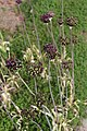 Allium atropurpureum Waldst. and Kit.-6F.JPG
