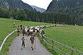 Almabtrieb der Schafe 2014 in Schoppernau 07.JPG